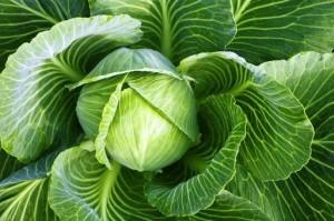 Ee velichestvo kapusta 2 300x199 - Cabbage head