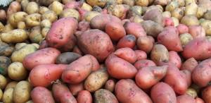 Istoriya kartofelya 3 300x146 - История картофеля-3