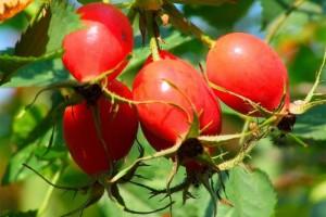Rasteniya     nezamenimyiy istochnik e`nergii i vitaminov 2 300x200 - Растения – незаменимый источник энергии и витаминов-2