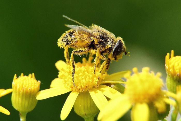 Pchelinaya pyiltsa Pchela - Пчелиная пыльца