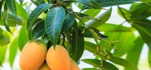 Listya Mango 300x140 - Листья Манго