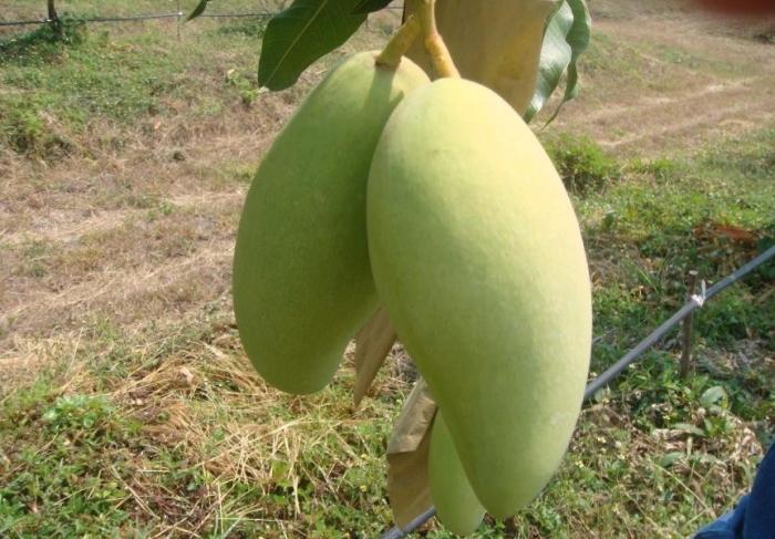 Mango iz Tailanda - Манго