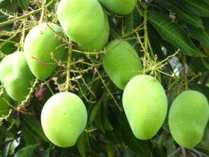 Mango v meditsine 300x225 - Манго в медицине