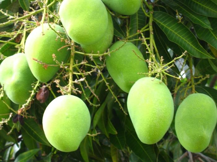 Mango v meditsine - Манго