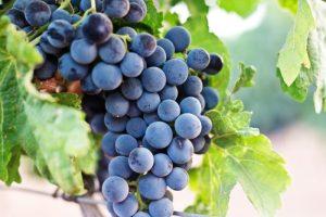 vinograd 300x200 - Виноград