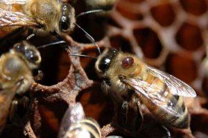 obrabotka pchel ot kleshha vesnoj 300x200 - Обработка пчел от клеща весной