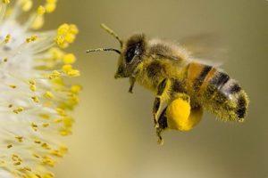 pchelinaya pylcza 300x200 - Пчелиная пыльца