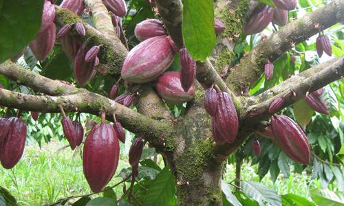 Schokoladnoe derevo s plodami - Как выглядит шоколадное дерево?